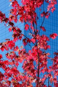 Herbstlicher Ahornbaum, Yonge Street, Toronto